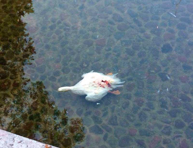 Zarigüeya mató a patos de La Alameda: autoridades